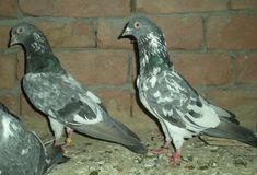 Pakistani Tippler pigeon - also known as Pakistan Highflyer, Pakistan Highflying Tippler - is a variety originating from Pakistan, Pakistani Pigeon, Tumbler Pigeons, Pigeon Breeds, Homing Pigeons, Beautiful Birds, Teaching English, Turkey, Animals, Collection