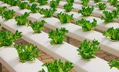 What are hydroponic plants and how they are different than regular plants? What are the best fast growing hydroponic plants you can grow? 8 Best Choices of Fast Growing Hydroponic Plants -
