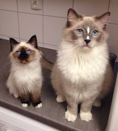 Love these types of cats! Birman Kittens, Cute Kittens, Kittens And Puppies, Cats And Kittens, Ragdoll Cats, Kitty Cats, Cute Animal Quotes, Cute Animal Pictures, Puppy Pictures