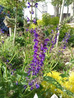 Salvia pratens-santoline lemon fizz- euphorbia characias -http://www.plantes-vivaces-hurlevents.com/
