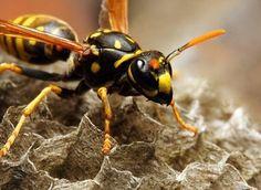 Как избавиться от ос на садовом участке?  Обычно хозяева садовых участков, которым все лето досаждали осы, с приходом холодов лезут на чердак и снимают висящие под крышей серые осиные гнезда. Потом сжигают их либо относят подальше от дома, пытаясь таким образом избавиться от навязчивых соседей.  Этих насекомых из отряда перепончатокрылых ученые называют бумажными осами. Ведь вещество, из которого они строят гнезда, делается по тому же принципу, что и бумага: мелкие волокна древесины осы…