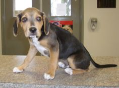 Charlie showed up at a house as a stray 2-weeks ago and the family there kept him. But now they have decided that they don't have time for a puppy and so they have brought him to the shelter. Charlie is a sweet boy that looks to be around...