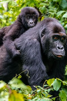Democratic Republic of Congo - The time to visit is now. Mountain Gorilla trekking in Virunga National Park. Timbuktu Travel