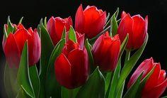 tulipanes rojos - Buscar con Google