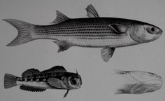 1875: Antique Fish Print. Blennius brevipinnis and Mugil Mexicanus Fish. Original Steindachner Lithograph. 140 years old. by DiscoverMaps on Etsy https://www.etsy.com/listing/219504953/1875-antique-fish-print-blennius