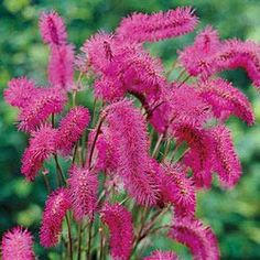 Japanese Bottlebrush.  Looks like a fun plant to try. 30-36 inches