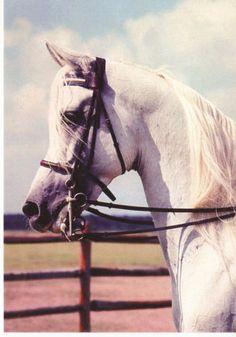 Sakr Egyptian Arabian Horse Postcard Stallion Headstudy Supreme Champion   eBay