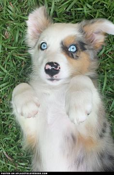 This sweet Australian Shepherd puppy, Dakota, has beautiful blue eyes that you can lose yourself in!