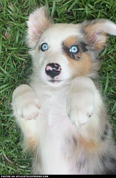 This sweet Australian Shepherd puppy, Dakota, has beautiful blue eyes that you can lose yourself in!