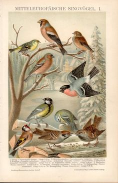 1898 Set of 4 Bird Prints, Antique Print, Vintage Lithograph, Songbird, Passerine, Carduelis, Finch, Goldfinch, Robin, Swallow, Starling