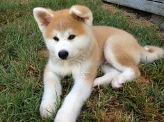 Hokkaido Dog - - Tap the pin for the most adorable pawtastic fur baby apparel! You'll love the dog clothes and cat clothes! Akita Puppies, Akita Dog, Cute Puppies, Dogs And Puppies, Shiba Inu, Chien Akita Inu, Japanese Akita, Japanese Dogs, Hokkaido Dog