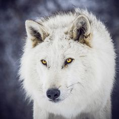 White wolf with pretty yellow eyes.