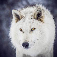 wolveswolves:  By Instinct Film