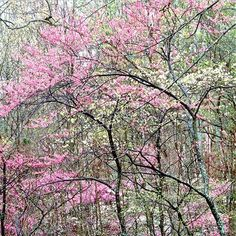 Redbud and Dogwoods..I just bought both for the yard...hope they will grow to look like this.