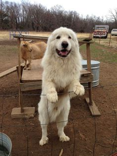 my dog hoss Cute Cats And Dogs, Big Dogs, Animals And Pets, Cute Animals, Pyrenees Puppies, Great Pyrenees Dog, Baby Puppies, Dogs And Puppies, Maremma Sheepdog