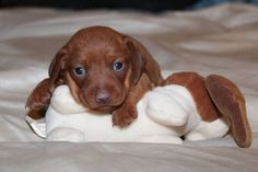 Miniature Dachshund Puppy, I love this girl!