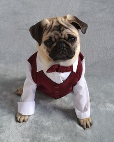 The name is Bond, Boo Bond.  Boo the pug dressed up in his New Year's formal. #pug #puppy #dog #formal #newyear #cute #funny #dapuglet