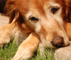 What you need to know about inflammation and arthritis in dogs