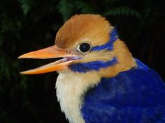 "Moustached Kingfisher Photographed for First Time: After evading scientists for decades, the adorable ""ghost bird"" of the Solomon Islands is finally ready for its close up.  