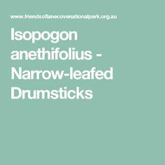 Isopogon anethifolius - Narrow-leafed Drumsticks