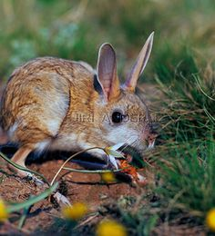 Hotson's Jerboa | ... 1920 - Jerboa-de-Hotson Allactaga major (Kerr, 1792) - Jerboa-grande Hamsters, Rodents, Mice, Animals, Animales, Computer Mouse, Animaux, Animal, Animais