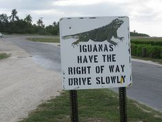 Iguanas have right of way on Grand Cayman Island