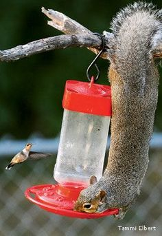 Tips for outwitting these clever thieves at your bird feeders.