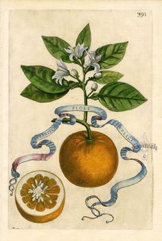 """""""Aurantium Flore Duplici"""". Giovanni Baptista Ferrari Original Citrus Prints 1646."""