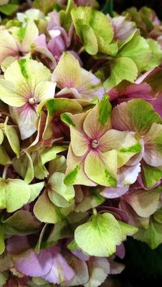 Beautiful Hydrangeas! OPAL Everlasting Hydrngeas!!!! love them