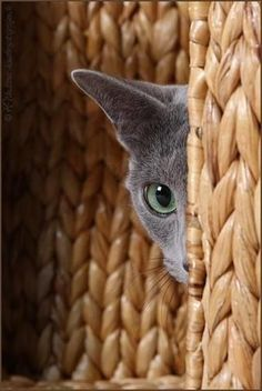 Russian blue - in no hurry , so not ( Russian / rushing ) around and more grey than blue , and happy so anything but depressed / blue too !! ✅