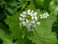 """Garlic Mustard, also called Jack-By-The-Hedge and """"Sauce Alone"""" the leaves taste like garlic and mustard with a slightly bitter aftertaste. The leaves smell of mustard when crushed and stems are often purplish."""