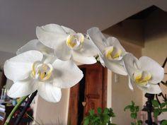 orchidée blanche.