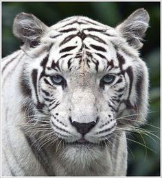 Felinos | Jungle Park