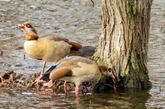 A pair of Egyptian Geese in Shoebury Park, 21 Dec 2015