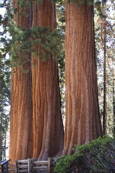 These are the Three Graces in Sequoia National Park.