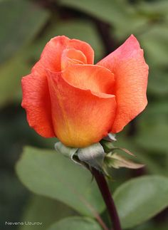 Rose Bud !