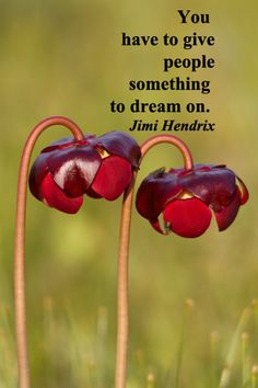 """""""You have to give people something to dream on.""""  -- Jimi Hendrix – On image of pitcher plant flowers taken in Canada, Cape Breton, by Florence McGinn – Explore inspiring wisdom in quotes at http://www.examiner.com/article/travel-a-road-of-literate-quotes-about-the-journey"""