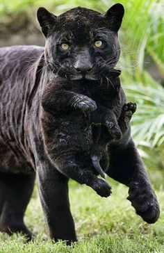 Female panther and cub