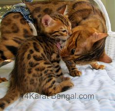 14KaratBengal – Traditional and Cashmere Bengal Cat Cattery  Yavapai County, Arizona 86326