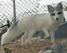 Marble colored fox