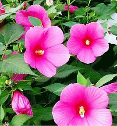Hibiscus Moscheutos Seed Abelmoschus Hibiscus Flower 1 Pack 25 Seeds G for sale online Growing Hibiscus, Hibiscus Plant, Hibiscus Flowers, Hardy Perennials, Flowers Perennials, Water Garden Plants, Hibiscus Rosa Sinensis, Flower Seeds, Outdoor Living