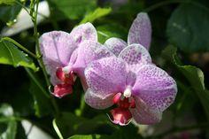 Nachtfalter-Orchidee (Phalaenopsis-Hybride)