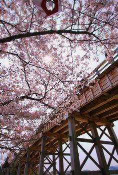 Sakura by makoto isa,