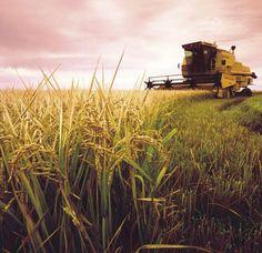 Leeton rice farm