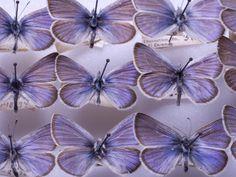 Xerces Blue...an extinct butterfly