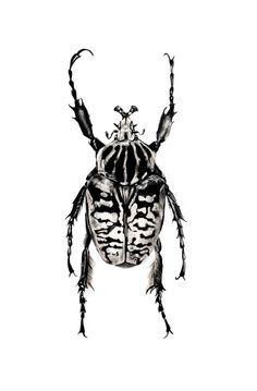 Goliath Beetle by Paulo Succar www.facebook.com/PauloSuccarCo www.paulosuccar.tumblr.com