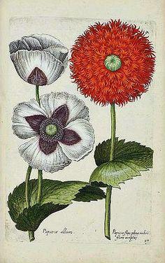 Poppies (engraving), Johann Theodor de Bry and Giovanni Battista Ferrari, 17th century.