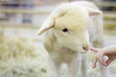 lamb-at-denver-stock-show-anda-stavri-photography.jpg 900×600 pixels