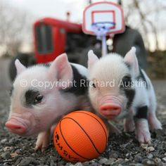 Basket ball Piglets 우리 나이트팔라스▷ KJ1100.COM 제우스뱅크 http://jak14.ro.to/ 바카라게임사이트VIP카지노