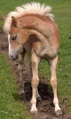 Colt -- (don't worry, it will grow...that awkward in between mane stage)